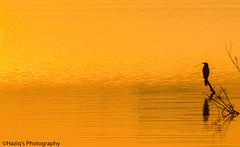 golden moments.. (haziq ali) Tags: winter pakistan bird nature golden nikon random wildlife hour cormorant lakeview goldenhour nationalgeographic islamabad waterscape naturephotography natgeo naturescape pakistaniphotographer nikonphotographer wildlifeofpakistan birdsphotography