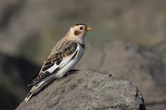 Snow bunting (Plectrophenax nivalis) Sneeuwgors (Explored) (RonW's Nature Photography) Tags: snow bird netherlands canon europe ngc birding nederland birdwatching vogel sneeuwgors plectrophenax nivalis bunting explored