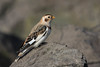 (Explore) Snow bunting (Plectrophenax nivalis) Sneeuwgors (RonW's Nature Photography (thanks for over 1 milli) Tags: snow bunting plectrophenax nivalis sneeuwgors bird birding netherlands nederland europe vogel birdwatching canon ngc explored plectrophenaxnivalis explore