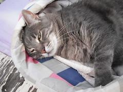 Charlie up close. (Matilda&Charlie&Josie ~ MCJ) Tags: cat charlie 9yo greybluecreamtabby
