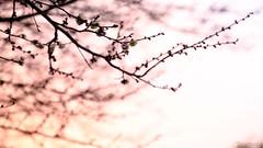 添え色 (atacamaki) Tags: pink color japan evening 日本 fujifilm 梅 plumblossoms 夕方 ピンク 色 xt1 18135mm jpeg撮って出し atacamaki 梅はやいよ