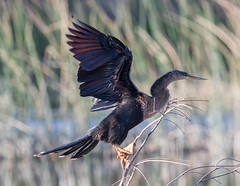20160213-_74P6824.jpg (Lake Worth) Tags: bird nature birds animal animals canon wings florida wildlife feathers wetlands everglades waterbirds southflorida birdwatcher canonef500mmf4lisiiusm