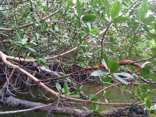 Mangrove Salt Marsh Snake (Nerodia clarkii compressicauda)