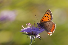 Lycaena phlaeas - Cuivr commun (Sbastien Vermande) Tags: autumn france flower macro fleur automne butterfly insect bokeh lot papillon 1001nights mariposa farfalla macrolens macrophotography midipyrnes macrophotographie insectmacro sigma150 canon7d sigmaapoteleconverter14xexdg 1001nightsmagiccity