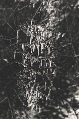 Frozen drops. (För Kyld) Tags: white black cold ice monochrome outside outdoors photography 50mm frozen is photo drops nikon frost foto outdoor freezing photograph tone bnw fotografi svartvit buske droppar svartvitt utomhus kallt kyld frusen d5000 nikonphotography fruset artbykyld
