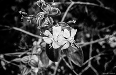 B & W - Chapada Diamantina - Bahia/Brasil (AmandaSaldanha) Tags: brazil blackandwhite bw plants flower planta nature beauty flora natureza flor pb bahia beleza chapadadiamantina pw