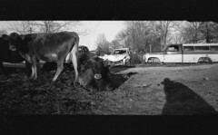 img343_1 (ahniton) Tags: 2 panorama film 35mm cow cows mju huntsville alabama olympus ii 400 stylus junkyard epic ultrafine