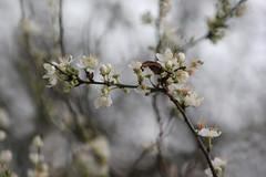 Winter Sakura (ekaterina alexander) Tags: pictures flowers winter england white flower tree nature cherry photography sussex blossom branches sakura alexander prunus ekaterina