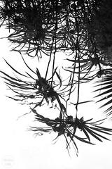 umbrella reflected | puerto de la cruz (John FotoHouse) Tags: blackandwhite bw nature reflections flickr fuji tenerife puertodelacruz johndolan topsyturvy dolan 2015 leedsflickrgroup sitiolitre johnfotohouse copyrightjdolan fujifilmx100s