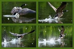 "~ Get Your Motor Running ~''~''~ (Darrell Colby "" You Call The Shots "") Tags: ontario canada wings flight running run off goose takeoff canadagoose londonontario darrellcolby"