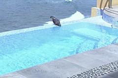 One Pigeon Enjoying a Drink (Stones-59) Tags: ocean blue roof bird rooftop water pool stone swimming tile mexico pacific pigeon wave shy mazatlan kylesecretan