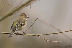 pinson des arbres (Djokkos) Tags: bird oiseau fringillacoelebs commonchaffinch pinsondesarbres fringillids passriformes