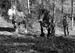 Débardage à l'ancienne (danidan's) Tags: canon chevaux forêts labeur