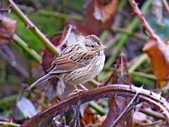 Lincoln's Sparrow, Crescent Lake WMA, Snoqualmie Valley, WA 2/14/16 (LJHankandKaren) Tags: sparrow crescentlake snoqualmievalley lincolnssparrow crescentlakewma
