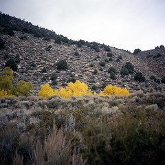 (patrickjoust) Tags: california ca autumn usa color fall 120 6x6 tlr film leaves yellow analog rural america lens us reflex sticks high focus fuji desert mechanical cloudy united nevada north patrick twin slide sierra east chrome medium format states manual northern expired joust e6 discontinued estados reversal unidos monocounty fujichromeastia100f autaut patrickjoust lipcarollopautomatic28