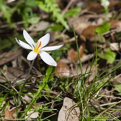 Crocus (Marco Makkio) Tags: italy flower crocus fiore murgia croco zafferano cassano mercadante parcoaltamurgia