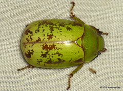 Scarab beetle (Ecuador Megadiverso) Tags: ecuador beetle coleoptera mindo rutelidae jewelscarab reservariobravo