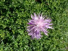 Centaurea simplicaulis