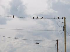 43/366 Birds (JessicaBelotto) Tags: black birds heaven foto natureza paisagem céu days honey nuvens fotografia projeto fio pássaros fotográfico fotografando 366 pretos 366daysofhoney 366diasnoano