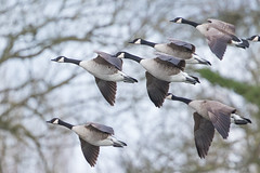Canada goose (palombian) Tags: groen