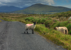 Rural Ireland's traffic issues (jon lees - moving) Tags: road ireland mountains rural sheep eire remote mayo moor bog livestock streetscape upland republicofireland