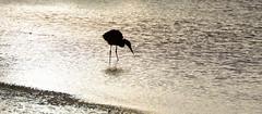 Ombre chinoise (Explored) (Elisabeth Lys) Tags: soleil lumière ombre oiseau ombrechinoise héron guérande maraissalants