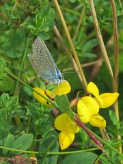 Common Blue (Polyommatus icarus) Butterfly (Brian Carruthers-Dublin-Eire) Tags: blue butterfly lepidoptera icarus common animalia arthropoda commonblue polyommatusicarus insecta lycaenidae commonbluebutterfly polyommatus hauhechelbluling polyommatini azurdelabugrane gormncoiteann picarus