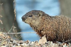 Woodchuck - Marmotte (DSC_6341-1F-20160317) (Michel Sansfacon) Tags: woodchuck marmotte nikond7000 sigma150600mmf563dgoshsmsports