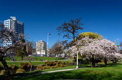 On a Perfect Day in the City (Jocey K) Tags: trees newzealand christchurch sky cars water buildings river spring shadows blossom avon pathway avonriver victoriasq weepingwiilow