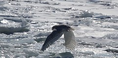 Icy Flight of the Snowy Owl (praja38) Tags: life winter wild lake snow ontario canada ice nature water animal female fly frozen flying wings snowy wildlife tail flight wing beak feathers feather canadian owl hunter icy wintertime predator wingspan talons snowyowl amherstisland