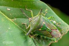 Giant shield bug (Lyramorpha sp.) - DSC_6658 (nickybay) Tags: maliaubasin maliau basin sabah malaysia macro babies tessaratomidae giant shield bug mother eggs lyramorpha borneo