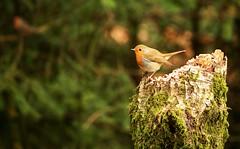 Robin (Mac ind g) Tags: bird robin walking scotland spring erithacusrubecula europeanrobin aberfoyle thetrossachs davidmarshalllodge queenelizabethforestpark lochlomondandthetrossachsnationalpark