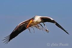 yellow-billed stork6 (mycteria ibis) (Colin Pacitti) Tags: bird outdoor ngc npc stork nesting yellowbilledstork wildbird coth mycteriaibis flightshot eiap flyingstork fantasticwildlife coth5 hennysanimals sunrays5