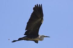 White Necked Heron Bif Borrow Pits Kel