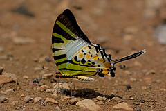 Graphium antiphates - the Fivebar Swordtail (BugsAlive) Tags: macro nature animal butterfly insect thailand outdoor wildlife butterflies insects lepidoptera chiangmai papilionidae papilioninae fivebarswordtail graphiumantiphates liveinsects
