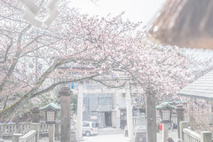 (SANGANO) Tags: fuji  sakura