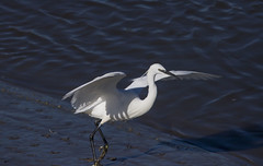 Little Egret (explored) (wayne.withers1970) Tags: