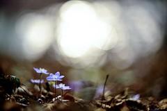 Hepatica nobilis () Tags: flowers light flower primavera petals spring purple bokeh erba anemone fiori fiore viola petali luce trinit nobilis hepatica liverwort sottobosco