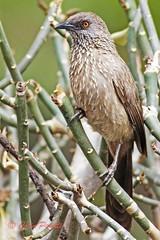 arrow-marked babbler1  (turdoides jardineii) (Colin Pacitti) Tags: bird animal closeup outdoor ngc profile babbler wildbird coth arrowmarkedbabbler turdoidesjardineii eiap fantasticwildlife birdperfect hennysanimals