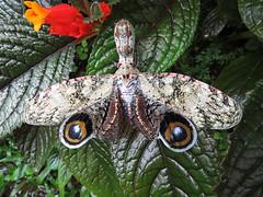Fulgoria_Laternaria_2015 - Copy (Surfishrink) Tags: insect honduras planthopper panacam peanutheadbug fulgorialaternaria