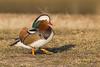 Mandarin Duck (Stephen J Pollard (Loud Music Lover of Nature)) Tags: aixgalericulata mandarinduck patomandarín duck pato bird ave nature naturaleza fauna wildlife