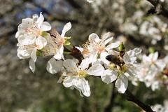 Dans mon jardin, a butine ! (Roselyne Calle Mirio) Tags: flowers green nature fleurs spring bokeh colorphotography printemps dansmonjardin fleursdeprunier olympusep1 roselynecallemirio