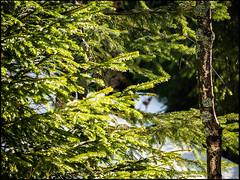 20160326-176 (sulamith.sallmann) Tags: plants detail tree green nature ast natur pflanzen tschechien czechrepublic grn ste baum zweig nadelbaum esko esk sulamithsallmann