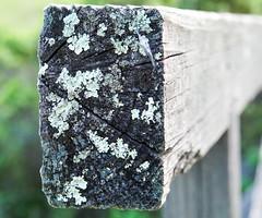 DSC05977 (Duncan Riach) Tags: wood bridge tree lichen