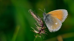 Coenonympha glycerion (KOMSIS) Tags: orange plant macro nature colors beautiful animal butterfly insect landscape nikon colorful pattern outdoor wildlife ngc butterflies sigma insects os lepidoptera serene minimalism nikondigital satyridae 150mm polyommatus graybrown visipix nikond800e