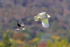 Below the radar (Geoff Main) Tags: kite bird australia act birdofprey sulphurcrestedcockatoo birdinflight blackshoulderedkite canonef300mmf28lisiiusm canon7dmarkii canonefextender20xiii