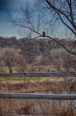 Fort Snelling Eagle (jondejong) Tags: minnesota eagle fort baldeagle stpaul minneapolis fortsnelling
