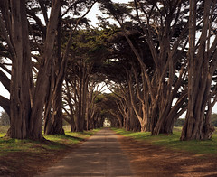 Cypress Tunnel, Point Reyes (sheelkapur) Tags: trees film analog iso100 kodak ishootfilm epson 4x5 cypress pointreyes 90mm ektar filmisnotdead