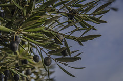 Before falling (pelpis) Tags: sky naturaleza tree nature fruit landscape spain aceite olives cordoba oil andalusia aceitunas olivo naturescene lovesnature lovesolives
