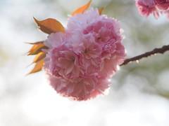(Polotaro) Tags: flower nature pen olympus  sakura    4   epm2 photoepm2mzuikodigital45mmf18